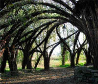 Living architectural trees