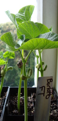 Borlotti bean seedlings