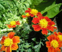 Red marietta marigolds