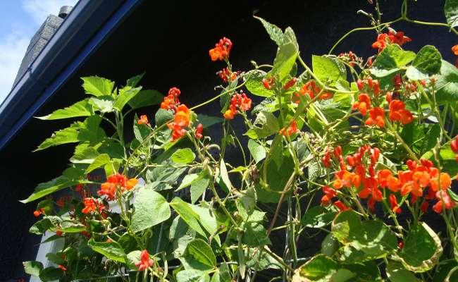 bean  love plant life blog